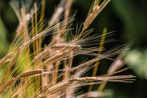 Переработка зерна — перспективное направление для Кольцово.